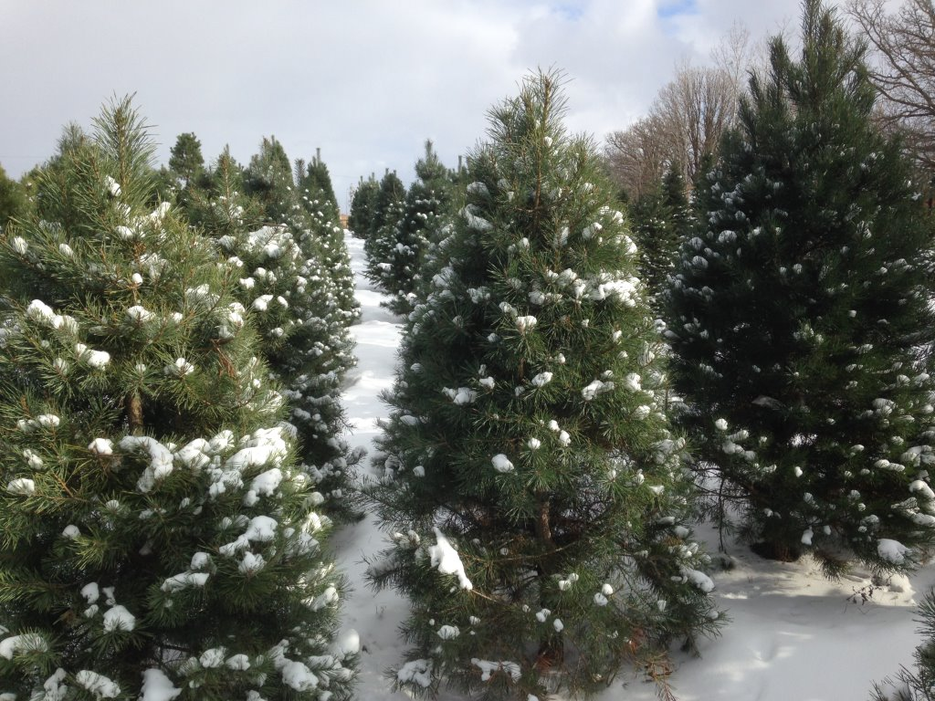 Christmas Tree Farm Iowa